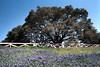 1983 TX  Brenham A large tree and bluebonnets along US290