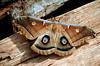 1985 TX Houston Giant moth on fire wood at the Crakston house
