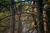 1984 TX Kerrville bald cypress tangle