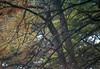 1984 TX Kerrville bald cypress trees in autumn