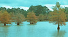 1978 TX Bald cypress trees