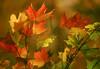 1987 VT Autumn leaves aglow