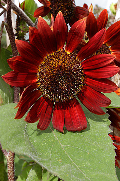 ARE 2010 06 Red Sunflower