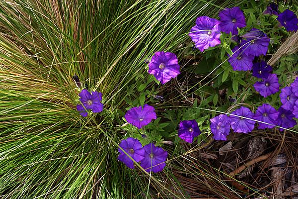 ARE 2010 06 Run away petunias