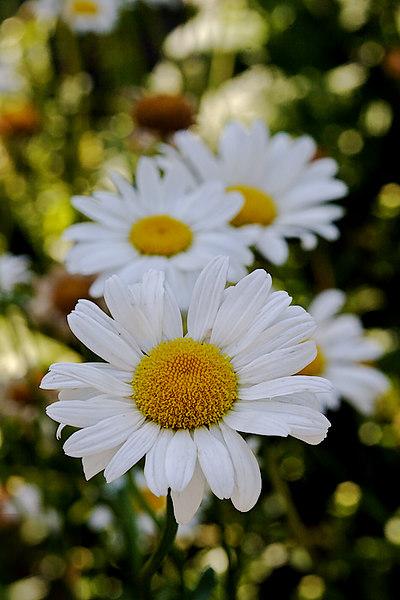ARE Daisy Chain