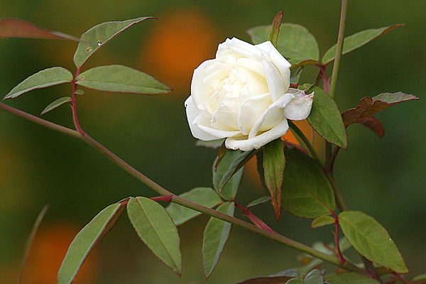 ARE 2009 OCT White Rose