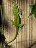 2013 10 Lime lizard