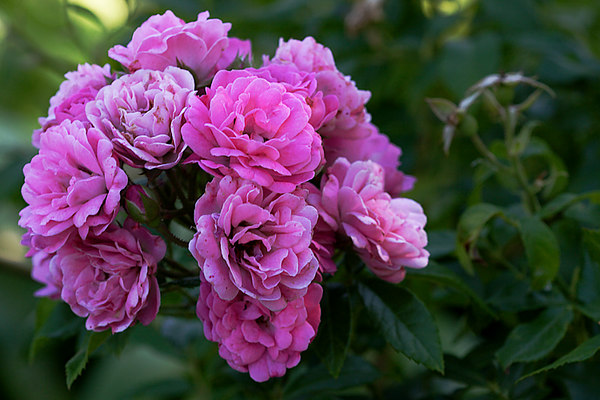 ARE Rose Cluster