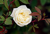 2010 12 Flowers White rose for winter at ARE