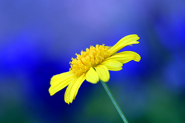 ARE Yellow Daisy