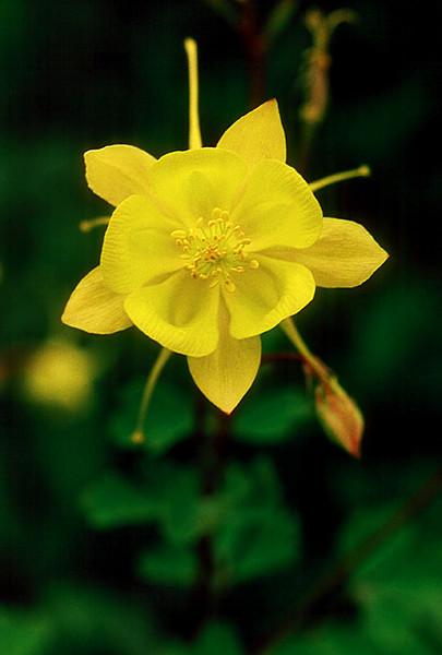 2000 MAR Yellow Columbine