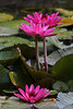 2012 06 29 Flowers TX Water lilies at the ARE
