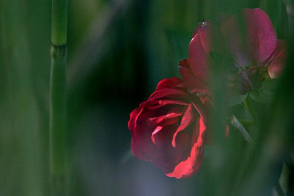 ARE Hidden Rose