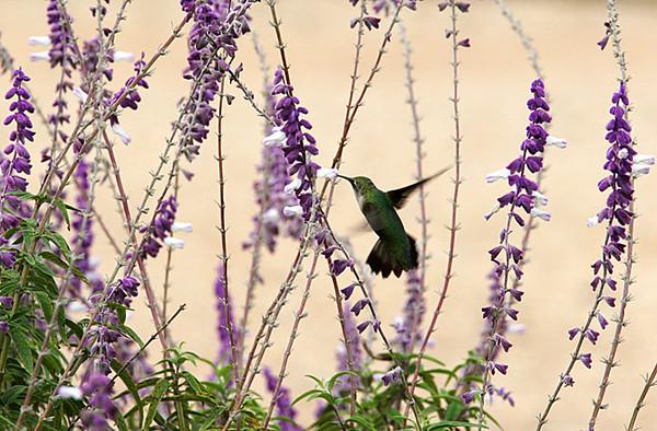 ARE 2009 OCT Hummingbird