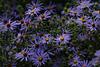 2012 10 12 Flowers ARE Garden blues