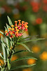 2012 10 12 Flowers ARE Butterfly weed