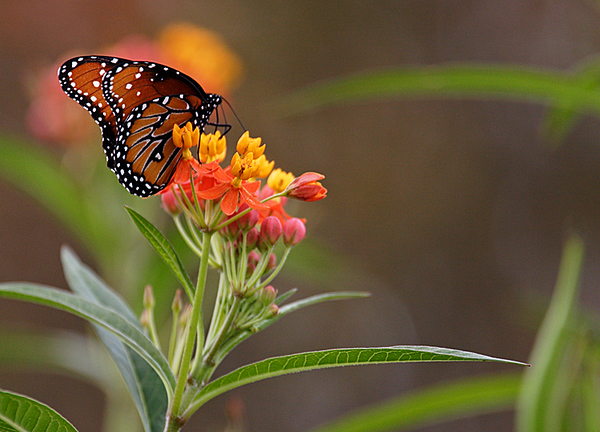 ARE 2008 NOV Butterfly Weed