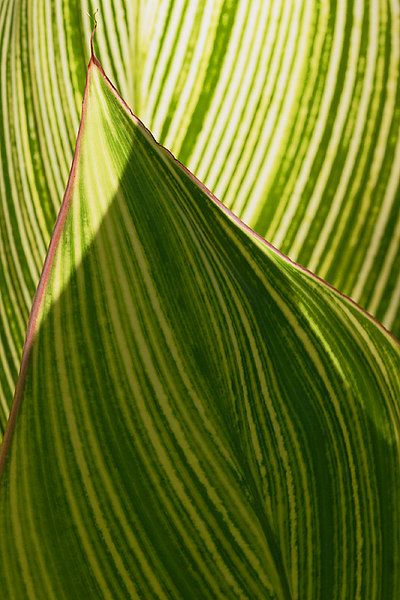 ARE Striped Leaves