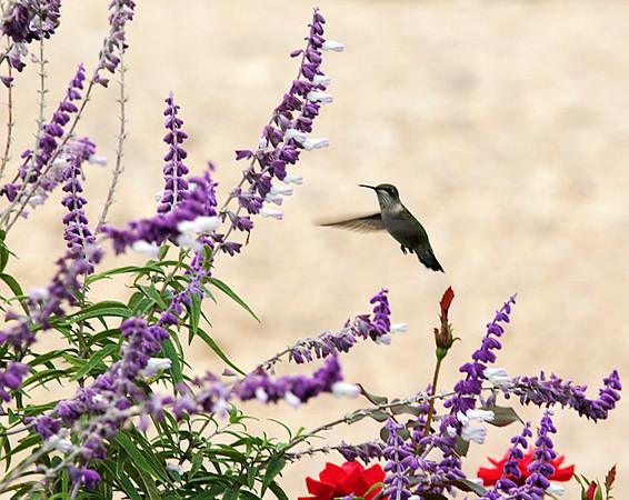 ARE 2009 OCT Hummingbird in Flight
