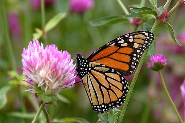 2011 10 Monarch in high clover at ARE
