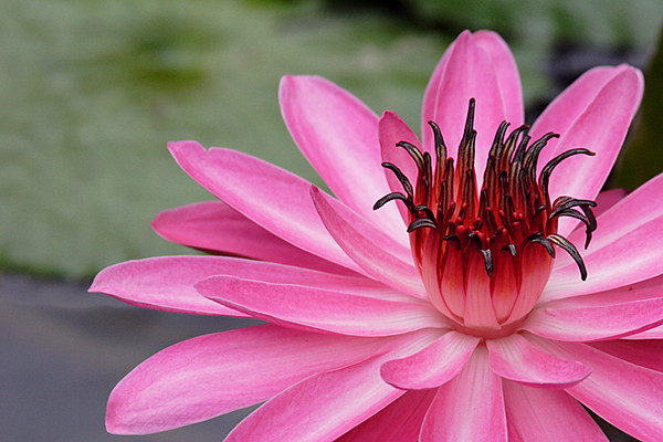 ARE 2009 OCT Pink Water Lily for closeup crop