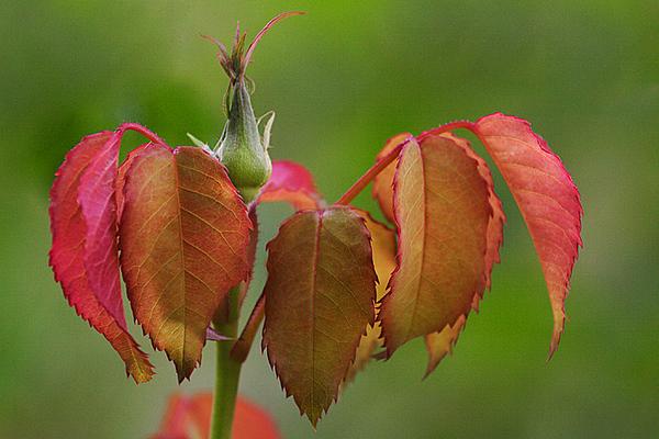 ARE 2008 NOV Autumn Rose Bud