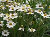 2013 04 21 Flowers AG Daisies