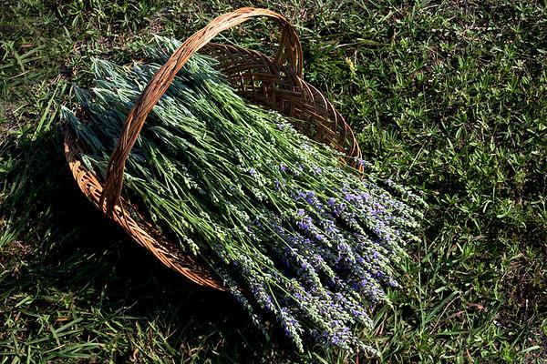 Freshly cut lavender