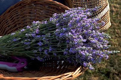 2007 Lavender Festival
