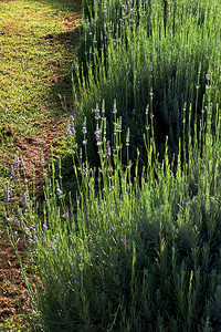 CHLF AUG 2007 Lavender Shadows