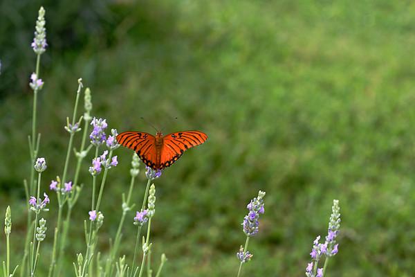 CHLF AUG 2007 Lavender Attraction2