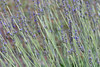 CHLF 2009 MAY Lavender 17