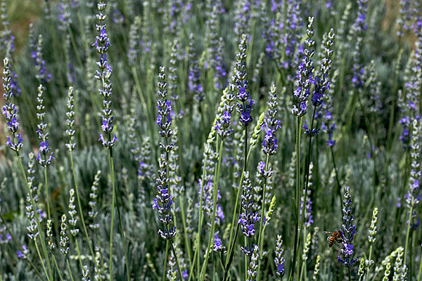 The Early Bee Gets the Lavender
