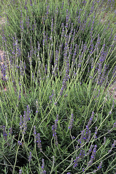 CHLF 2009 MAY Lavender 09