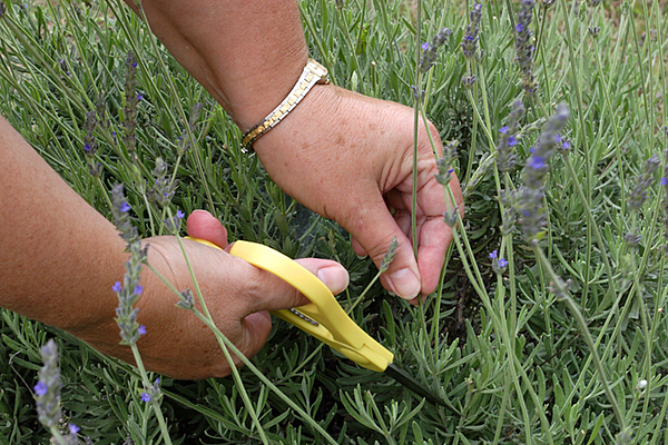 CHLF 2009 MAY Lavender Cutting 02
