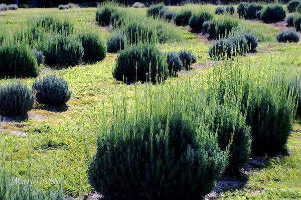 CHLF Lavender Rows