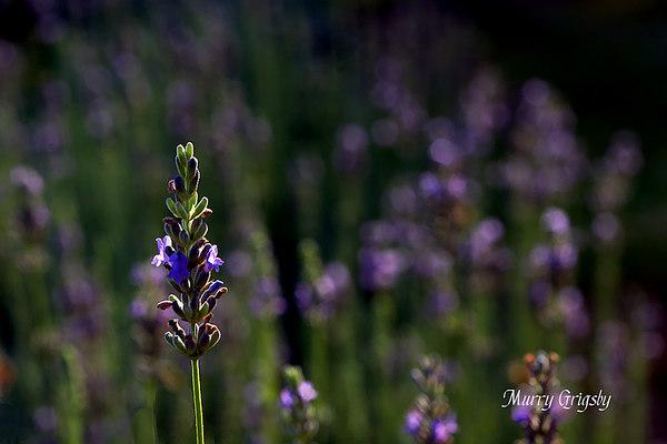 CHLF Sunny Lavender