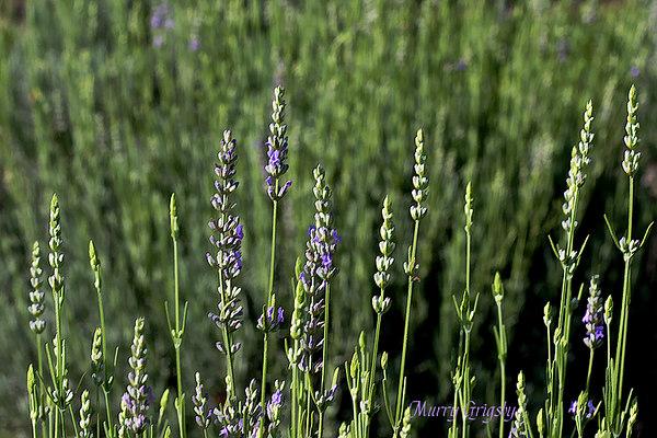 CHLF Fresh Lavender
