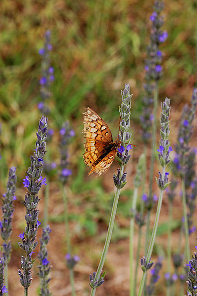 2012 04 29 CHLF Small butterfly in the lavender 01