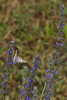 2012 04 29 CHLF Small butterfly in the lavender 06