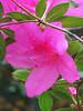 2014 03 30 Flowers TX 59W Azalae poking through
