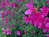 2014 03 30 Flowers TX 59W Azalea explosion