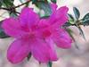 2014 03 30 Flowers TX 59W Highkey azaleas
