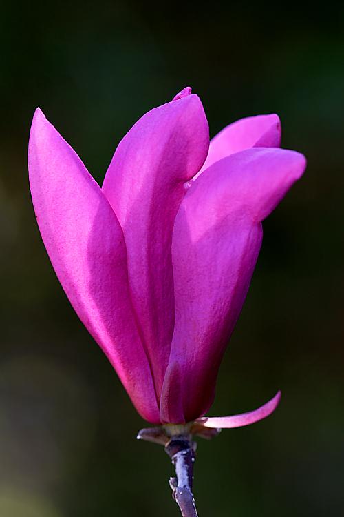 Tall Saucer Bloom