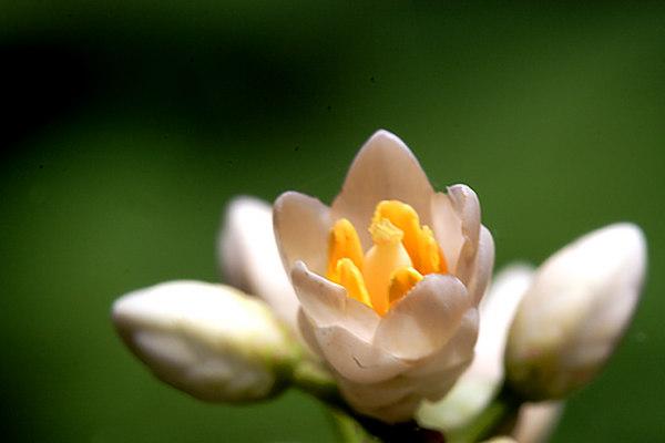 Nandina Bloom