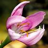 2015 08 24 TX 59W Rain lily opening