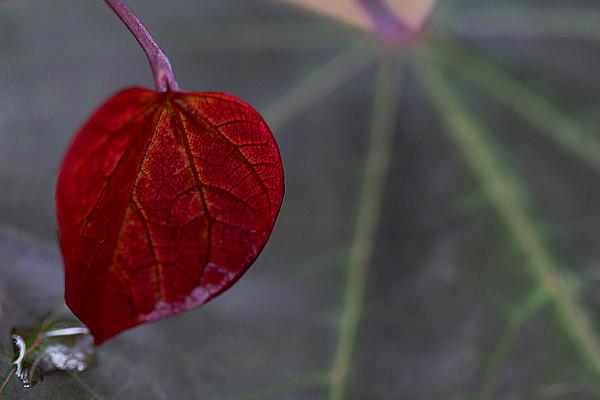 New Red Bud Leaf and Rain Drop