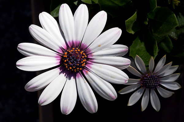 Two White African Daisies