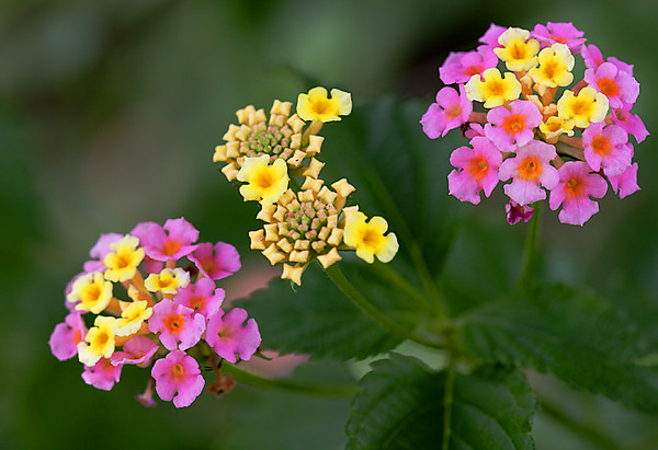 Lantana Stages