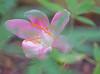 2015 08 24 TX 59W Rain lily tangle